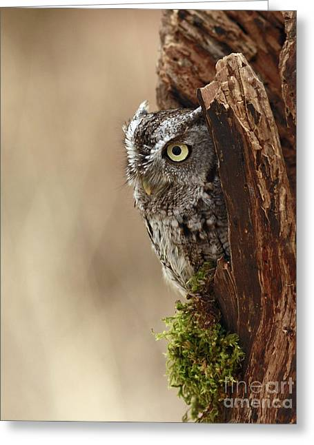 Home Sweet Home - Eastern Screech Owl In A Hollow Tree Greeting Card