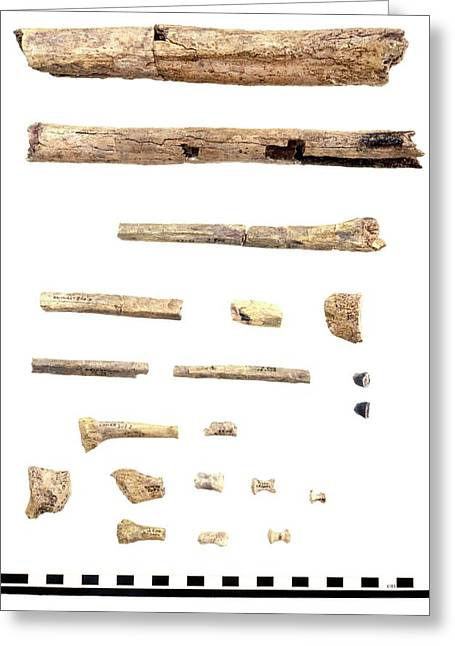 Homo Skeleton Fragments Greeting Card by John Reader/science Photo Library