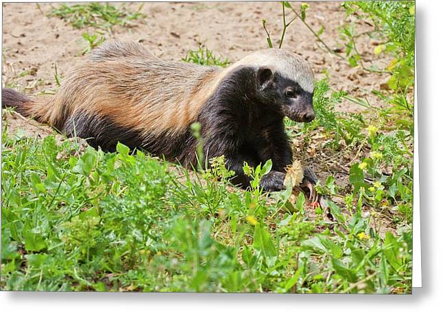 Honey Badger (mellivora Capensis) Greeting Card by Photostock-israel