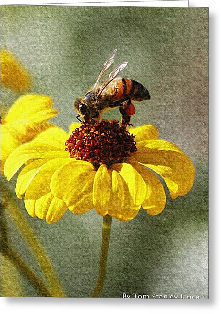 Honey Bee And Brittle Bush Flower Greeting Card