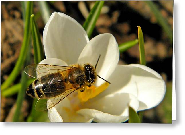 Honey Bee And Crocus Greeting Card