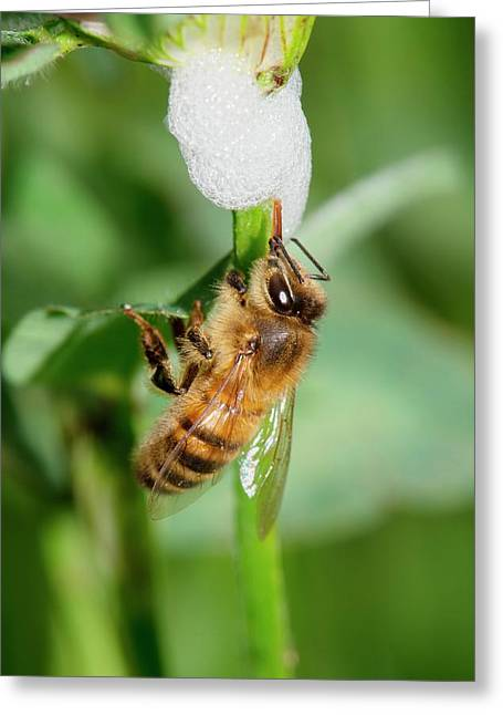 Honey Bee Drinking From Cuckoo-spit Greeting Card by Dr. John Brackenbury
