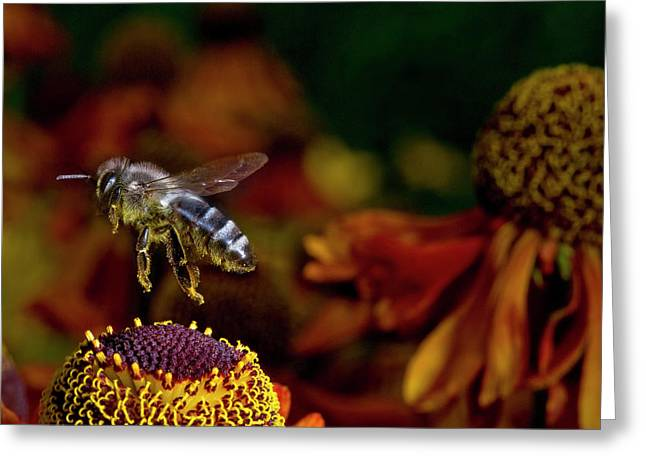 Honey Bee Flying Over Flowers (apis Greeting Card