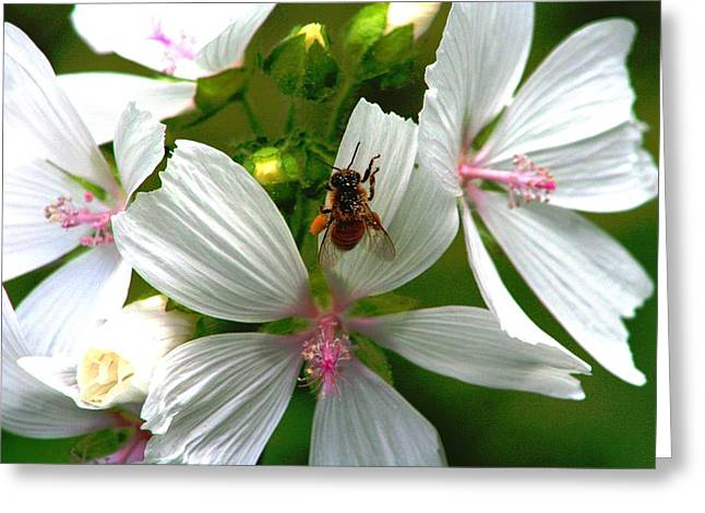 Honey Bee In The Mallow Greeting Card