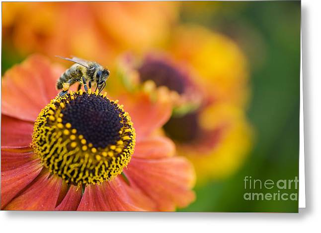 Honey Bee On Helenium Greeting Card by Tim Gainey