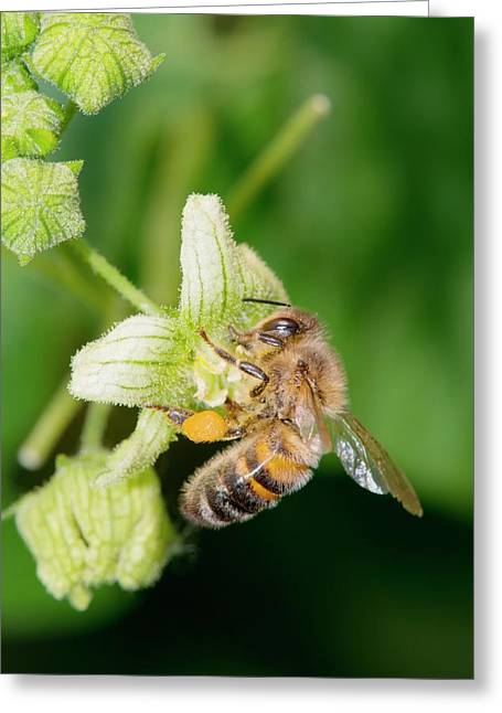 Honey Bee On White Bryony Greeting Card by Dr. John Brackenbury