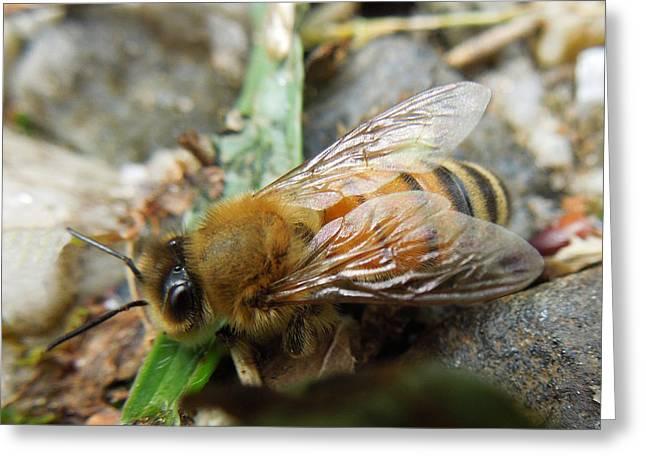 Honey Bee Greeting Card by Pete Trenholm