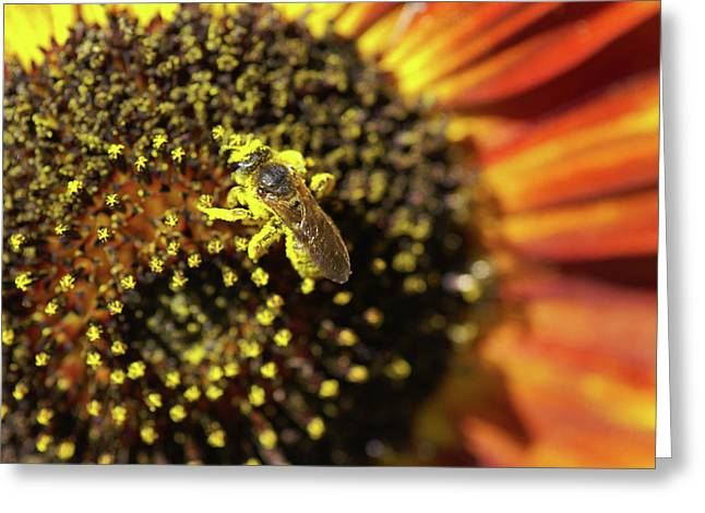 Honey Bee Pollinating A Sunflower Greeting Card
