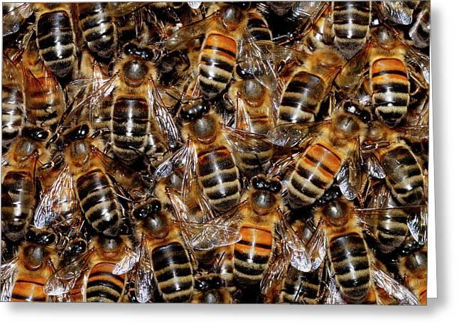 Honey Bee Swarm Greeting Card