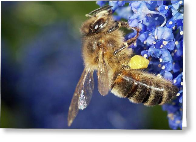 Honeybee Collecting Pollen Greeting Card