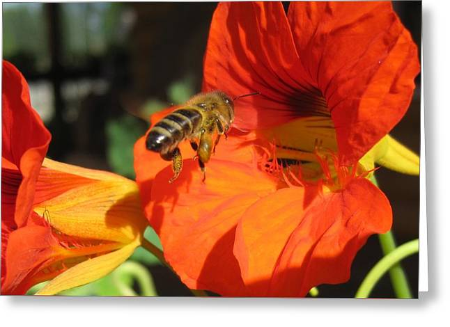 Honeybee Entering Nasturtium Greeting Card