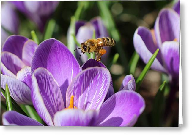 Honeybee Flying Over Crocus Greeting Card