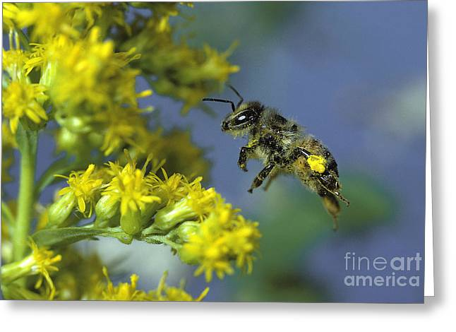Honeybee In Flight Greeting Card by ER Degginger