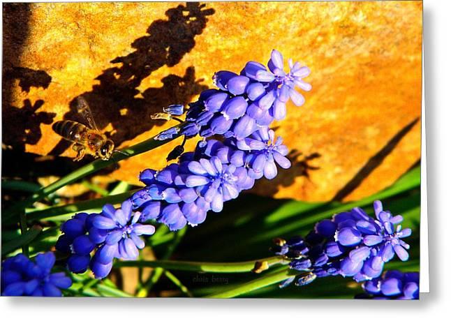 Honeybee In Flight To Grape Hyacinth Greeting Card by Chris Berry