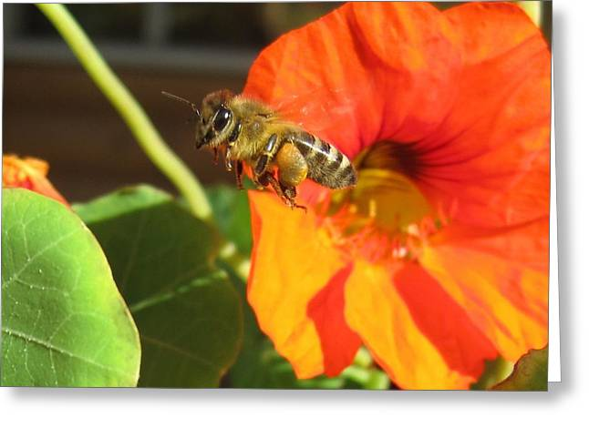 Honeybee Leaving Nasturtium With A Full Pollen Basket Greeting Card