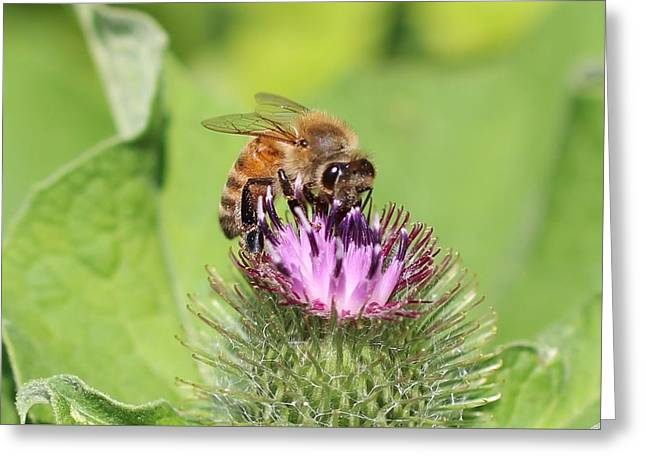 Honeybee On Burdock Greeting Card