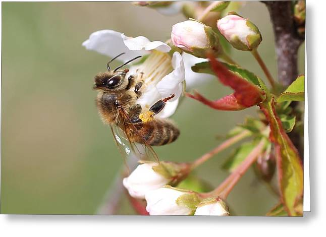 Honeybee On Cherry Blossom Greeting Card