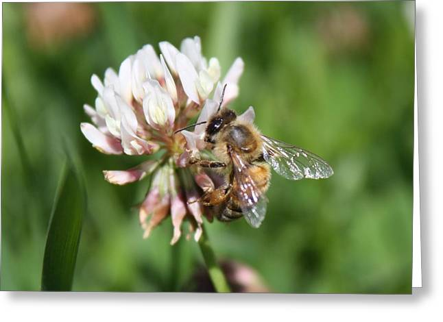 Honeybee On Clover Greeting Card