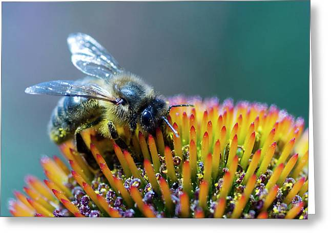 Honeybee On Flower Greeting Card