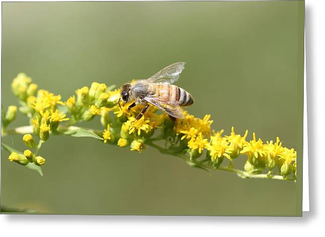 Honeybee On Goldenrod Twig Greeting Card