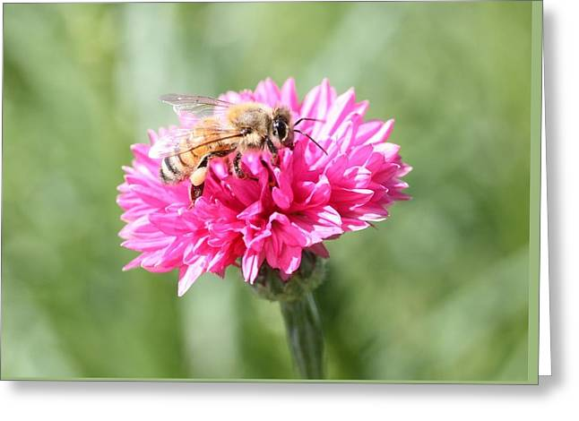 Honeybee On Pink Bachelor's Button Greeting Card