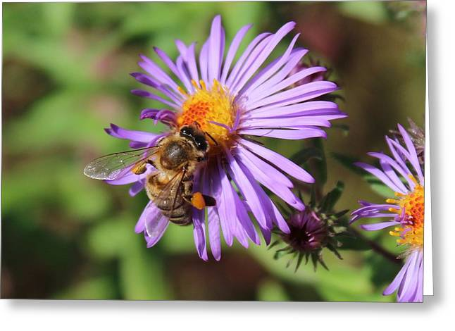 Honeybee On Purple Wild Aster Greeting Card
