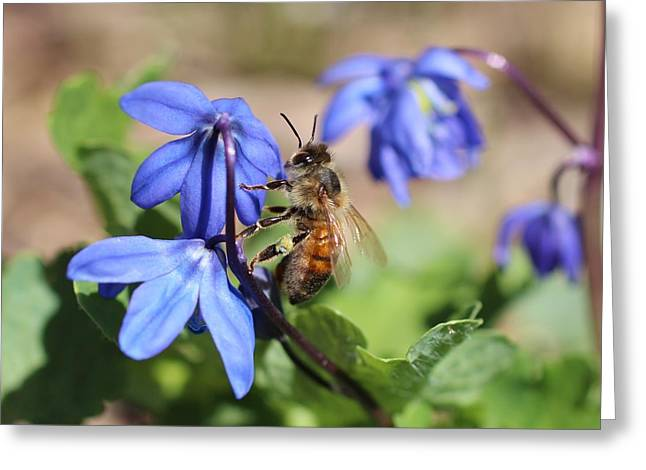 Honeybee On Siberian Squill Greeting Card