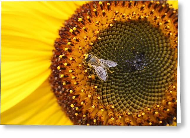 Honeybee On Sunflower Greeting Card