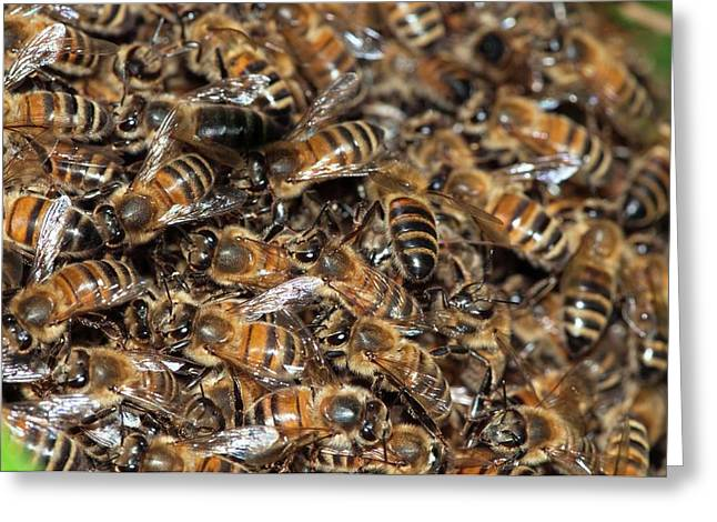 Honeybee Swarm Greeting Card