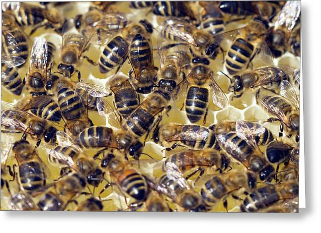 Honeybees On Honeycomb Greeting Card