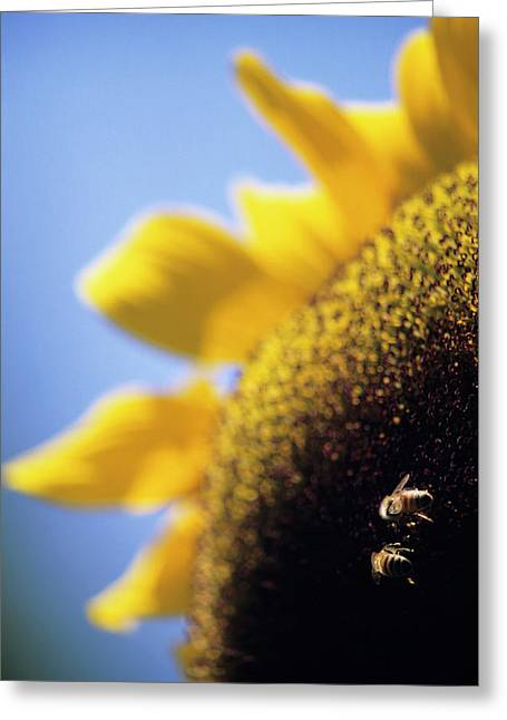 Honeybees Pollinating A Sunflower Greeting Card
