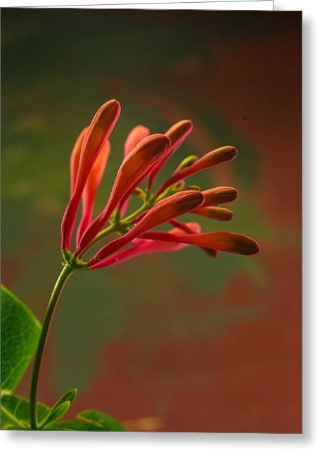 Honeysuckle Blooms Unopened 1 Greeting Card
