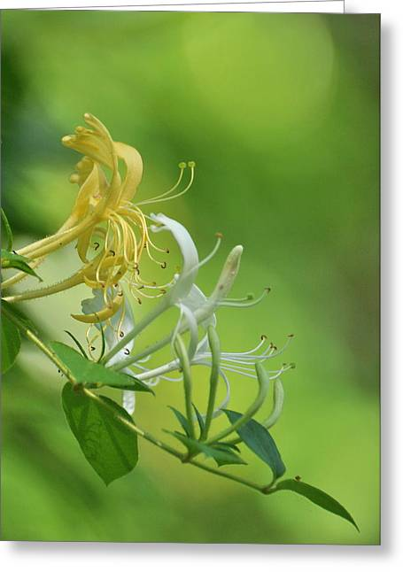 Honeysuckle Greeting Card