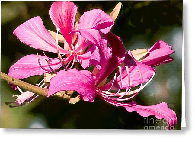 Hong Kong Orchid Tree Flower Blooms Greeting Card