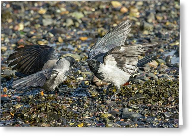 Hooded Crows Fighting Greeting Card by Simon Booth