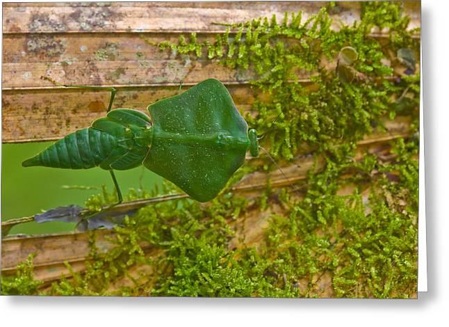 Hooded Leaf Mantis Greeting Card