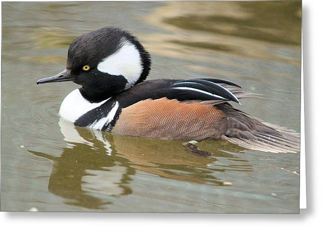 Hooded Merganser Drake Greeting Card