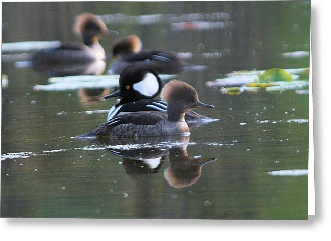 Hooded Merganser Pair Crossed Greeting Card