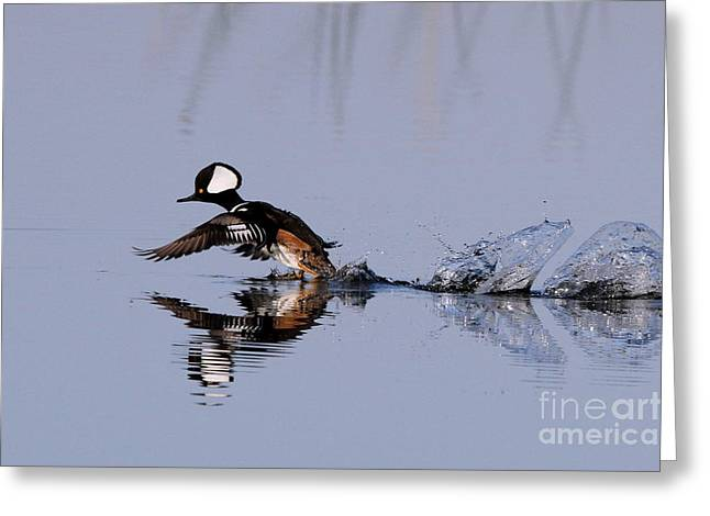 Greeting Card featuring the photograph Hooded Merganser Take Off by Jennifer Zelik