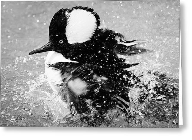 Hooded Merganser Taking A Bath Greeting Card by Paulette Thomas