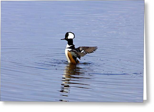 Hooded Merganser Greeting Card by Wild Expressions Photography