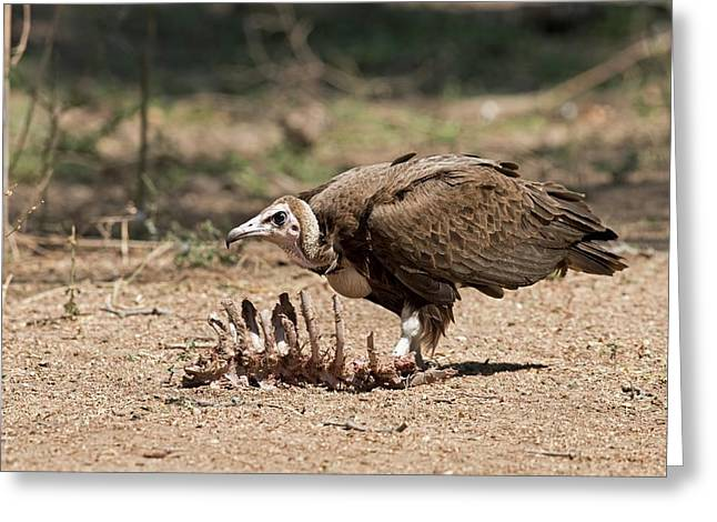 Hooded Vulture With Carcass Greeting Card