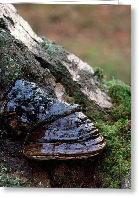 Hoof Fungus Greeting Card by Nigel Downer