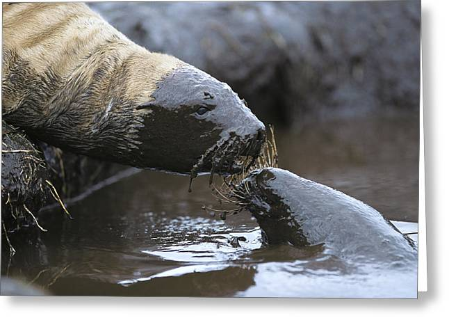 Hookers Sea Lion Pups Playing In Peat Greeting Card by Tui De Roy