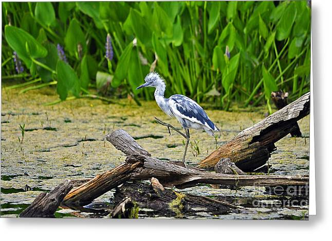 Hooligan Heron Greeting Card by Al Powell Photography USA
