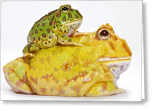 Horned Frogs Greeting Card by Michel Gunther