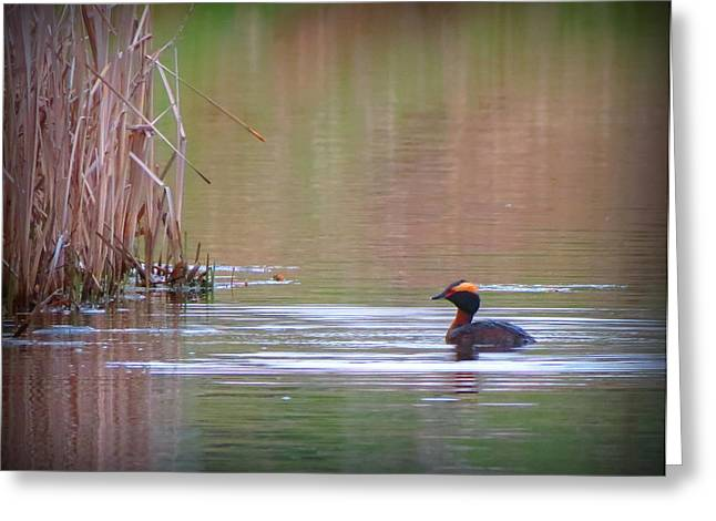 Horned Grebe Greeting Card by Marcus Moller