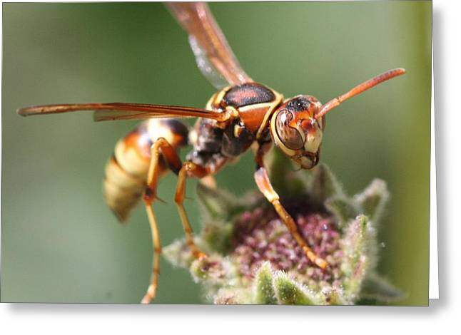 Hornet On Flower Greeting Card
