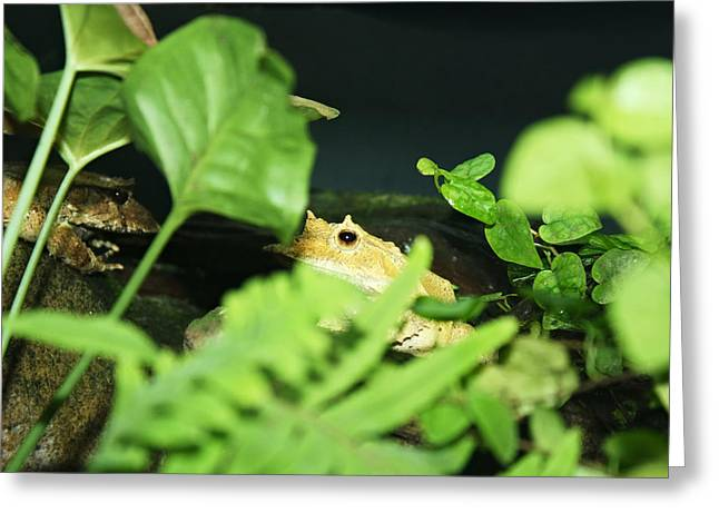 Horney Toad Greeting Card