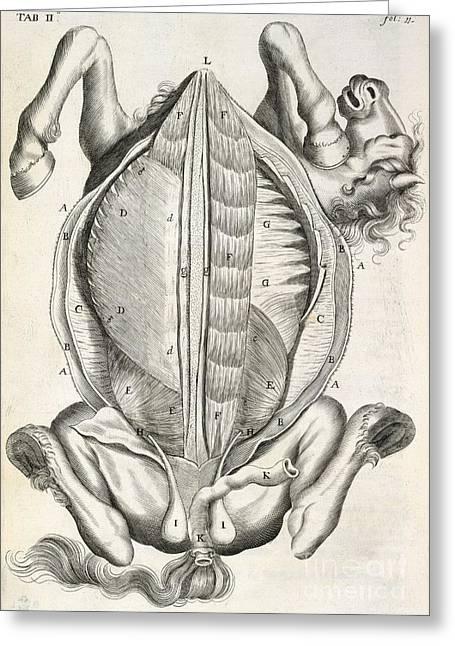 Horse Anatomy, 17th-century Artwork Greeting Card by British Library